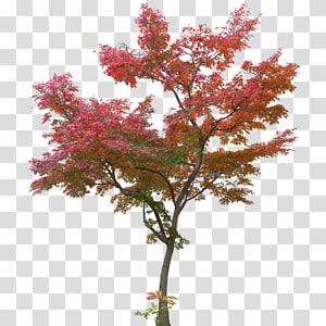 pohon sakura, maple Jepang, Daun pohon maple, tanaman pohon maple PNG clipart