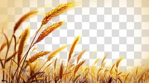 Gandum, ladang gandum emas yang indah, fokus pabrik gandum dangkal png
