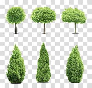 ilustrasi enam pohon hijau, pohon Gum Cupressus, taman pohon pinus png