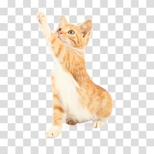 kucing kucing oranye, Kucing Anjing Mainan Anjing Amazon.com, Kucing melompat png