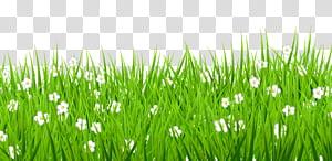 Rumput, Rumput dengan Bunga Putih, bunga petaled putih di lapangan png