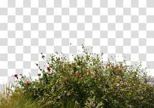 bunga merah dan ungu, taman bunga Pohon Rumput, semak-semak png