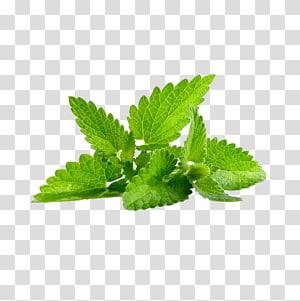 tanaman berdaun hijau dengan latar belakang biru, Peppermint Mentha spicata Herb Mentha arvensis Leaf, daun mint Kreatif PNG clipart