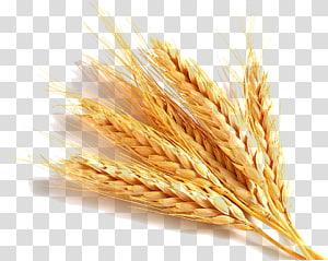 ilustrasi coklat gandum, gandum umum, minyak gandum, gluten sereal, makanan, gandum png