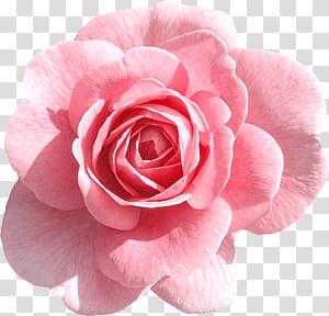 Mawar Merah Muda, Mawar Merah Muda Muda, close-up bunga merah muda png